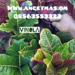 tanaman puring vinola