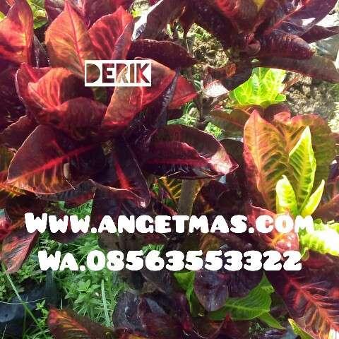 tumbuhan puring derik