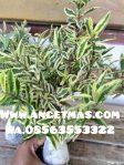 Tanaman jambu kerikil variegata