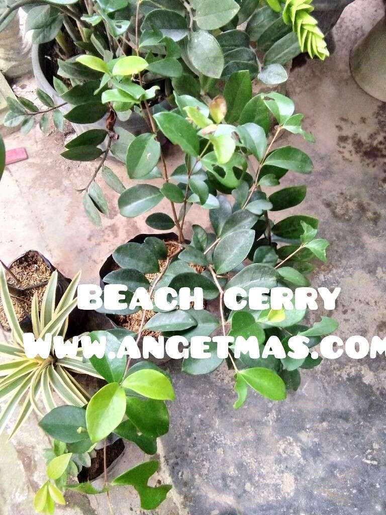 jual bibit tanaman buah beach cherry