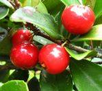 Tanaman buah beach cherry