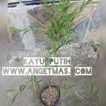 Tanaman kayu putih / melaleuca leucadendra
