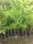 Bibit tanaman jambu getas merah