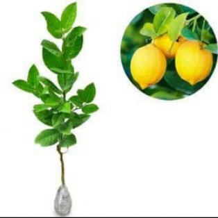 Bibit tanaman lemon tin manis hasil okulasi