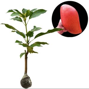 bibit tanaman mangga red emperor