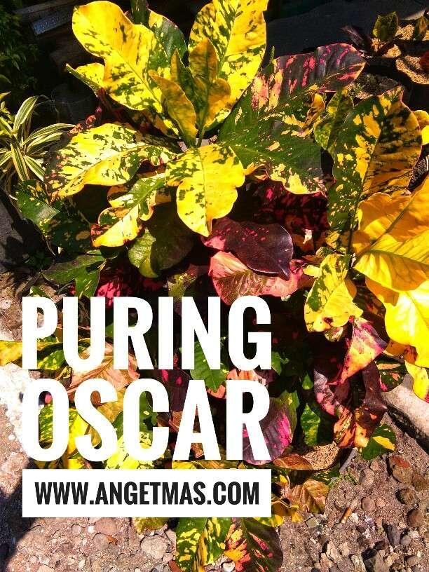 bunga puring oscar