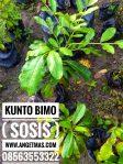 Bibit tanaman kontol bimo / kunto bimo / tanaman pohon sosis