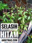 Bibit tanaman selasih hitam