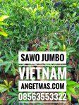 Tanaman sawo jumbo vietnam
