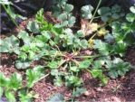 Bibit tanaman purwoceng
