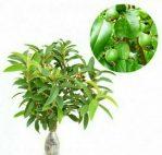 Bibit tanaman buah jambu kerikil
