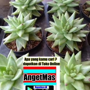 Tanaman bunga kaktus bintang