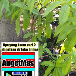 Tanaman sawo putih white sapote