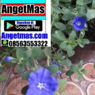 Tanaman bunga baby blue