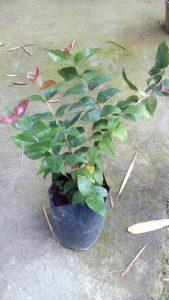 Jual,bibit,tanaman,dewandaru