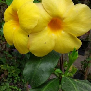 Bibit tanaman Bunga alamanda