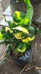 Bibit tanaman bunga puring mangkoan