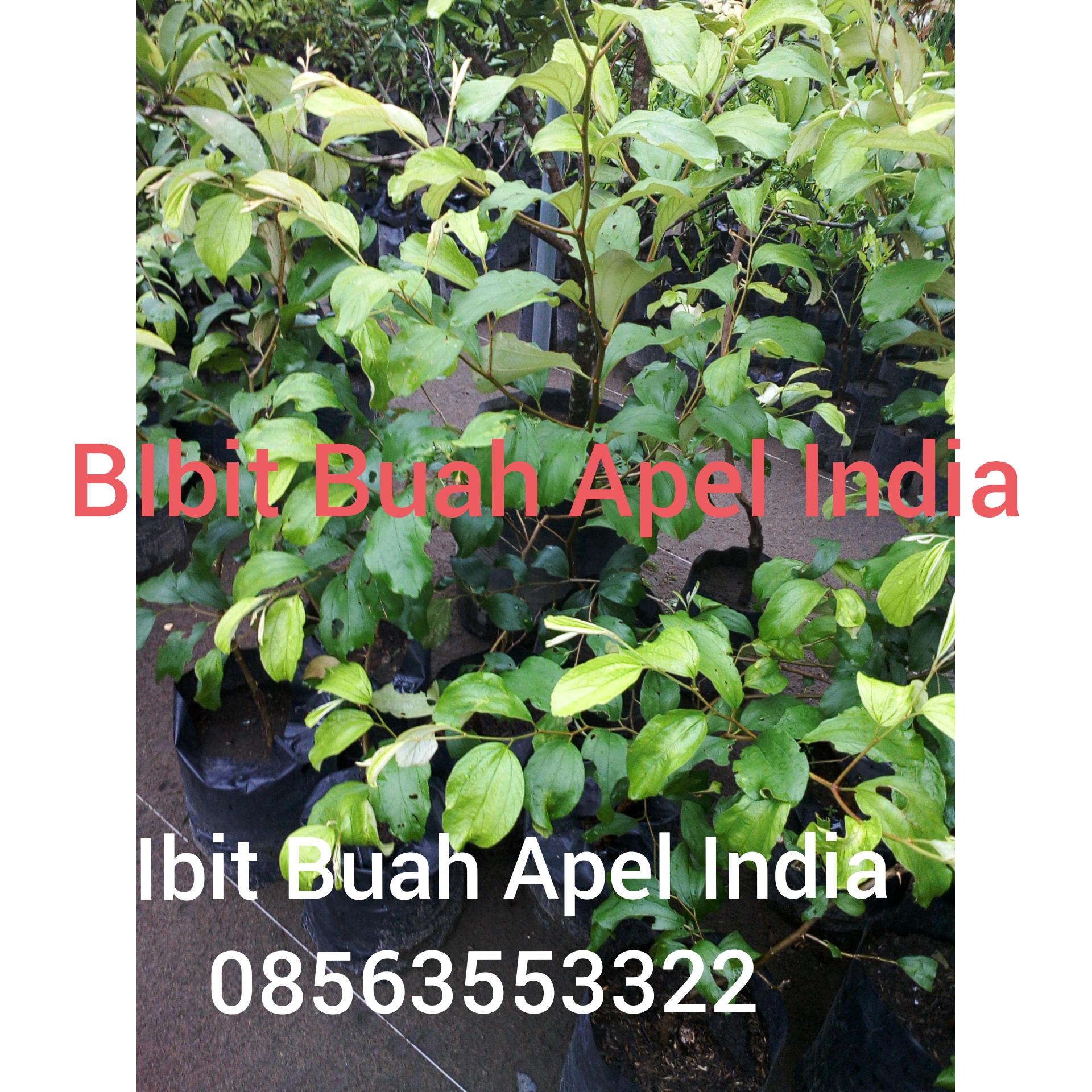 jual bibit tanaman buah apel india, buah apel india sudah berbuah