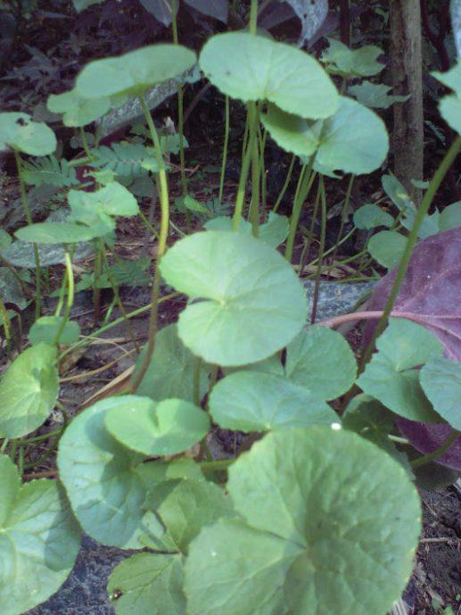 bibit tanaman daun pegagan