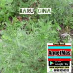 Tanaman Baru cina atau tumbuhan daun baru cina