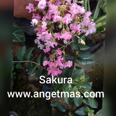 Tanaman hias bunga sakura