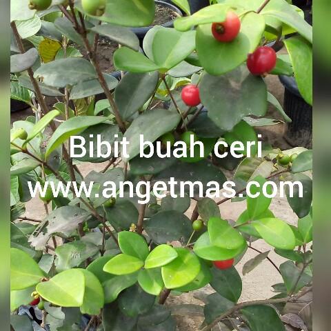 bibit tanaman buah cery