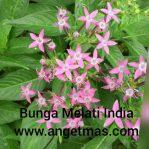 tanaman hias bunga melati india