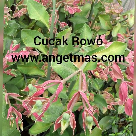tanaman hias cucakrowo, tanaman bunga cucak rowo