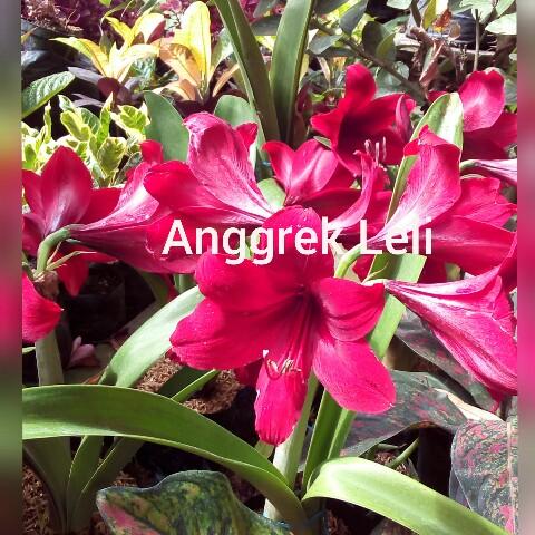 tanaman bunga lely