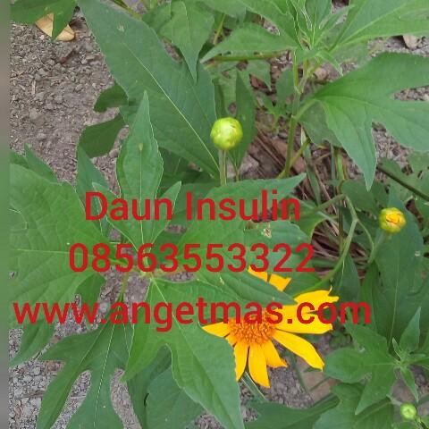 jua bibit tanaman daun insulin