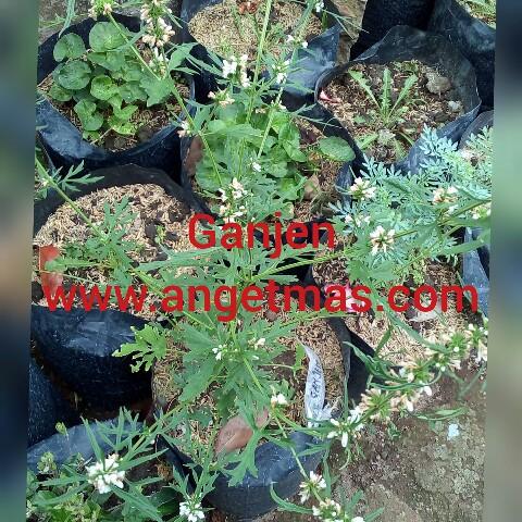 Bibit tanaman ganjen