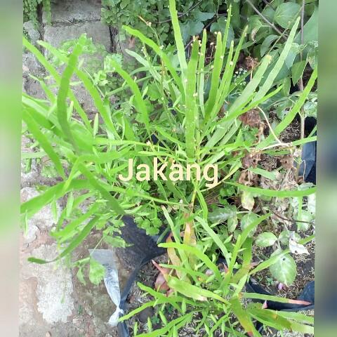jual bibit tanaman jakang, manfaat tanaman jakang untuk kesehatan