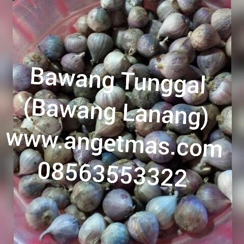 Jual bawang tunggal atau bawang lanang