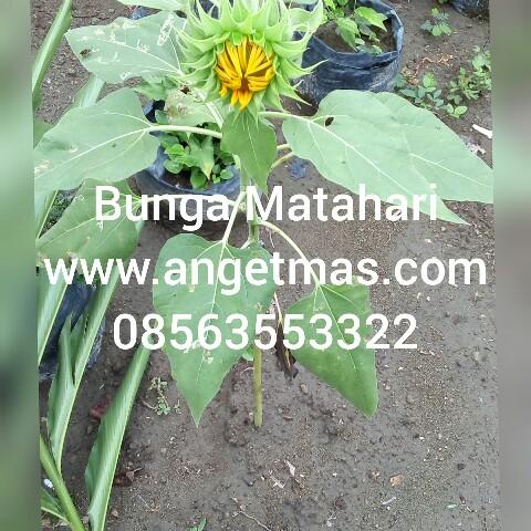 Tanamam bunga matahari