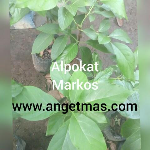 Jual bibit tanaman buah alpokat markus