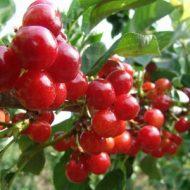 buah-ceri-400×300