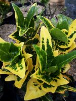 jual tanaman bunga puring batik
