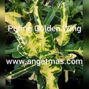puring golden wing 1