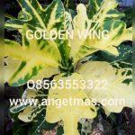 tanaman puring golden wing