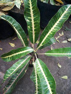 Bibit tanaman puring indigo