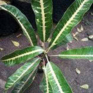 Bibit Tanaman Hias Bunga Puring Indigo