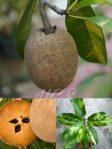 Bibit tanaman sawo variegata