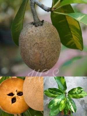 bibit buah sawo variegata