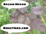 Jual Bibit tanaman Bayam Merah