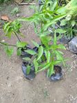 Bibit tanaman Belalai gajah