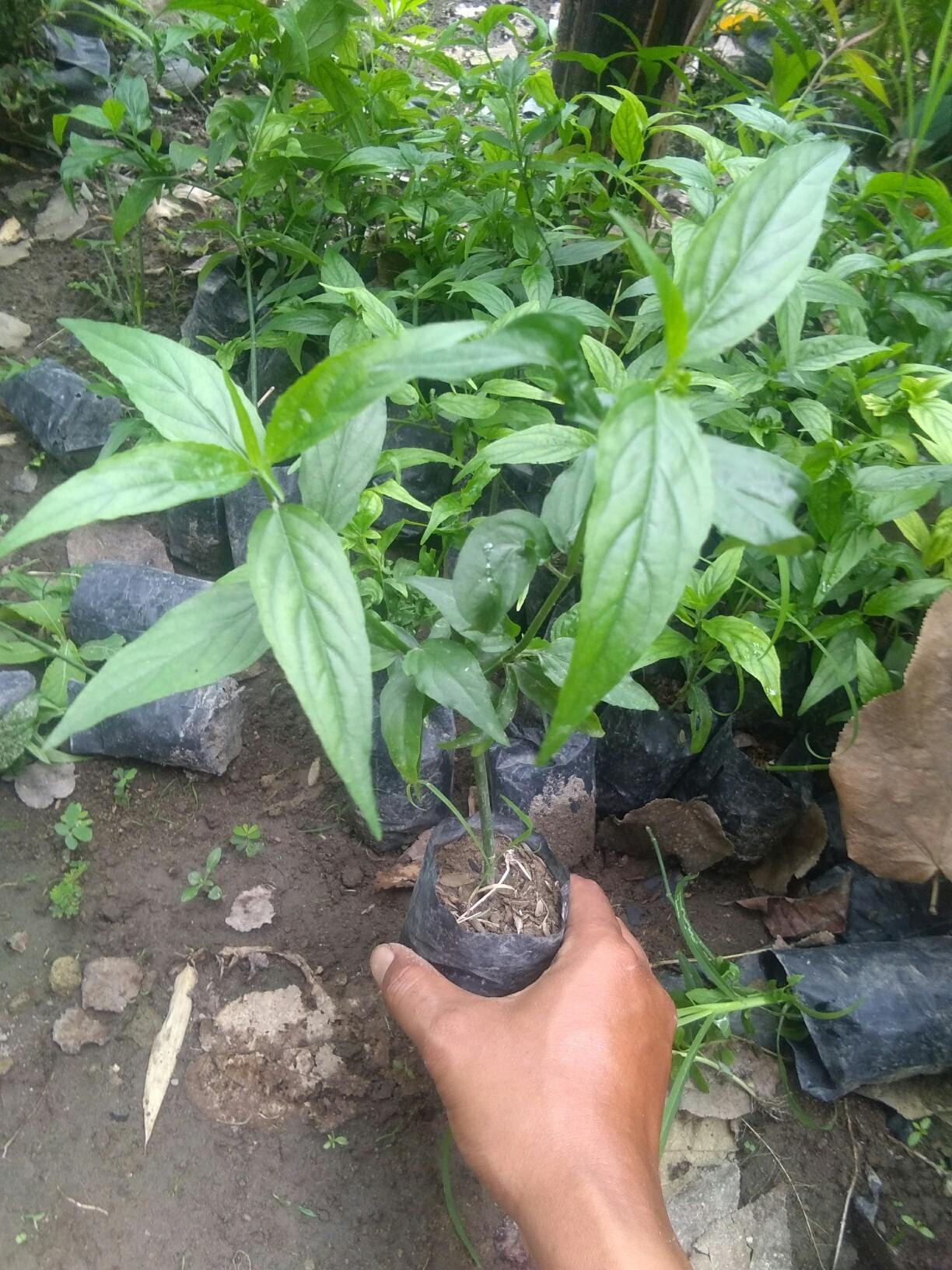 Jual tanaman belalai gajah