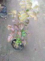 Jual pohon kelengkeng merah