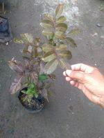 Bibit tanaman kelengkeng merah