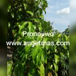 Bibit tanaman pronojiwo atau pranajiwa