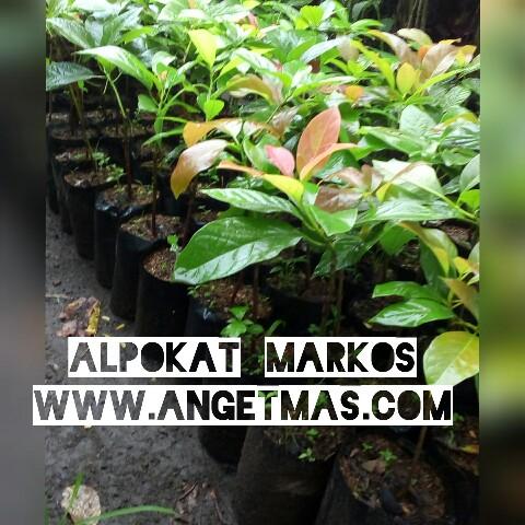 Bibit tanaman buah alpokat markos